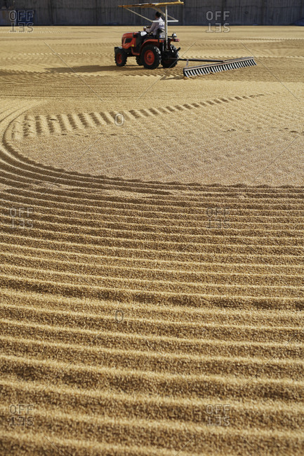 Tractor ventilation on wheat during drying process, Gaziantep, Southeastern Anatolia, Turkey