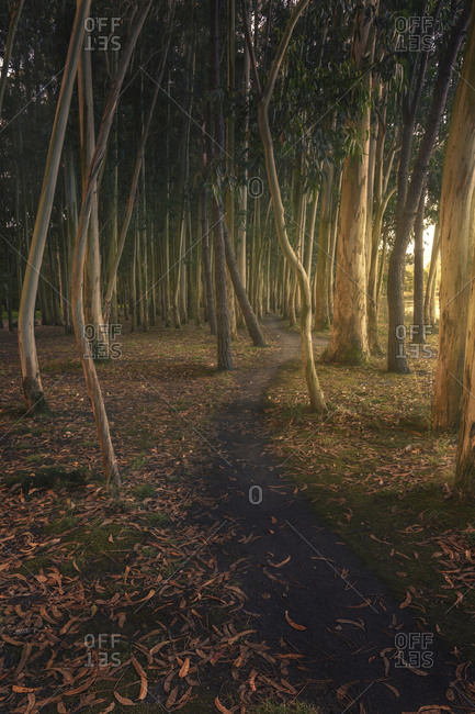 Path between eucalyptus at dawn, entering the lateral light, asturias, spain.