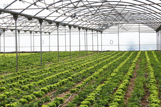 Produce from sustainable organic agriculture, inside greenhouse.