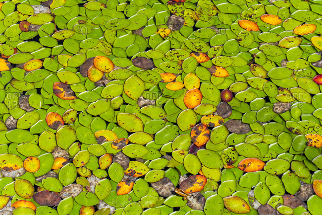 Water lilies on One Mile Lake, Pemberton, British Columbia, Canada