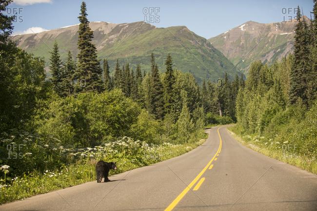 Bear walking through road, British Columbia, Canada