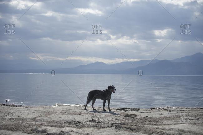 Australian Shepard standing on lakeshore, California, USA