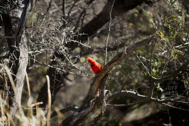 Cardinal perching on manzanita tree