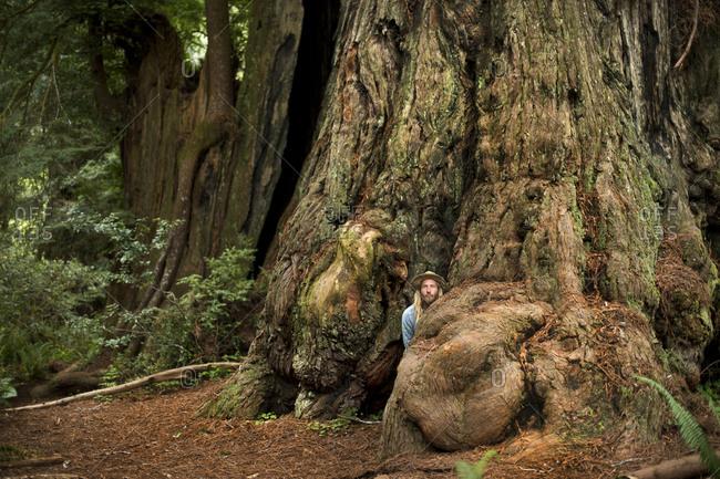 Man peeking from behind root of redwood tree, Redwoods, California, USA
