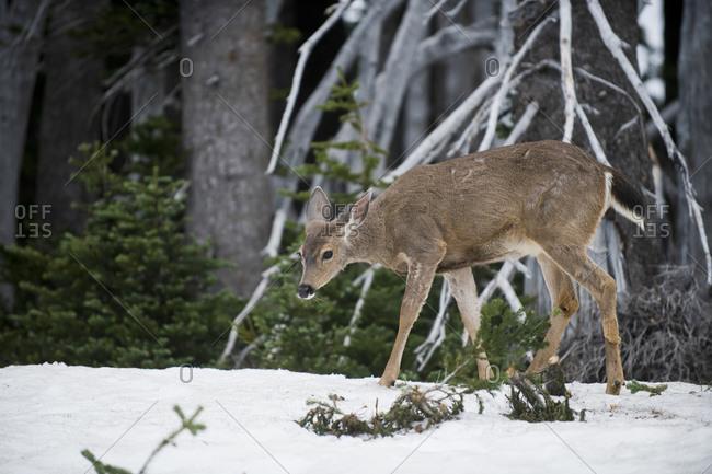 White-tailed deer (Odocoileus virginianus) doe walking on snow, Olympia, Washington, USA