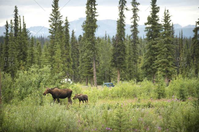 Female moose and calf standing outdoors, British Columbia, Canada
