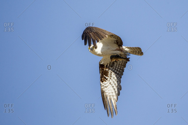 An Osprey in flight clutches a fish while staring down the camera.