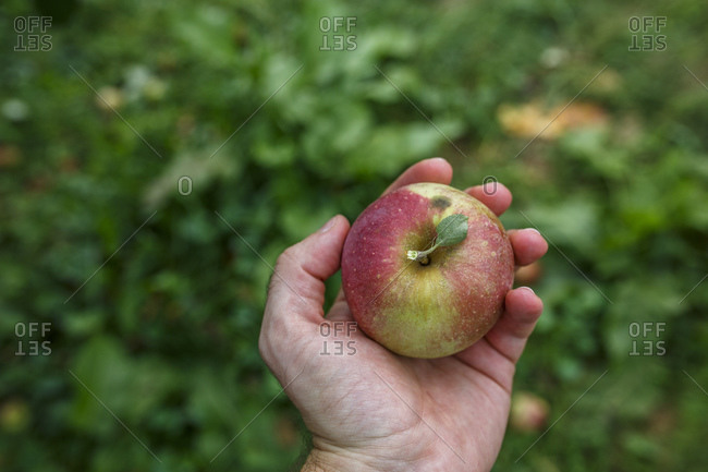 Hand holding apple, Middleburg, Virginia, USA