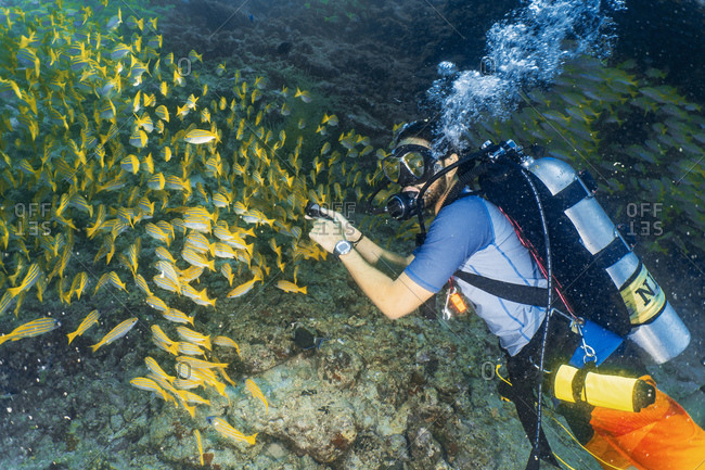 Scuba diver and school of yellow snappers, Maldives