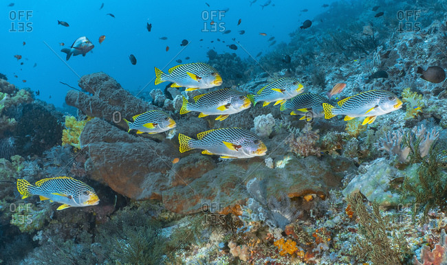 a school of tropical sweet lips close to Komodo Island in Indonesia