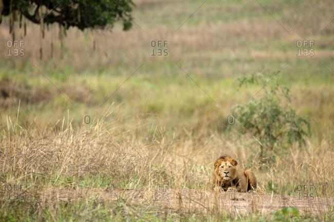 Democratic Republic Of Congo- Portrait of lion (Panthera leo) relaxing in Garamba National Park