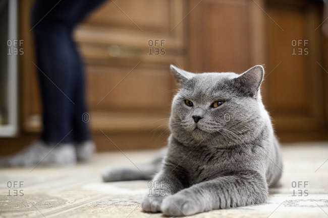 British Shorthair cat lying on floor at home with woman in background