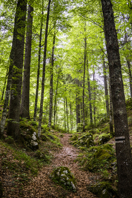 Italy- Province of Udine- Tarvisio- Footpath in green springtime forest in Italian Alps