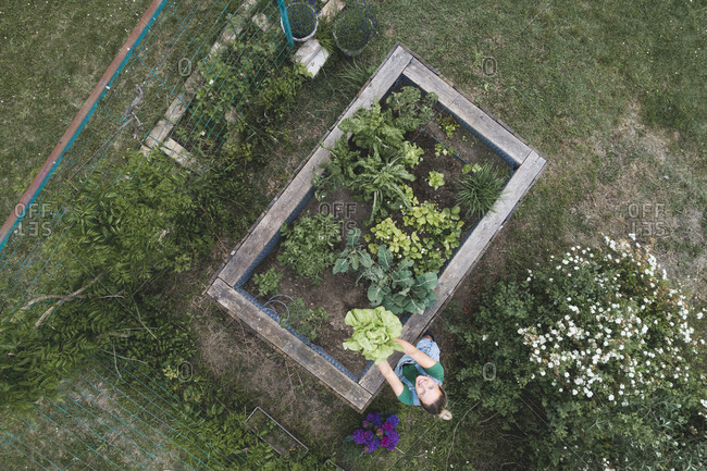 Aerial view of woman holding leaf vegetables growing in raised bed