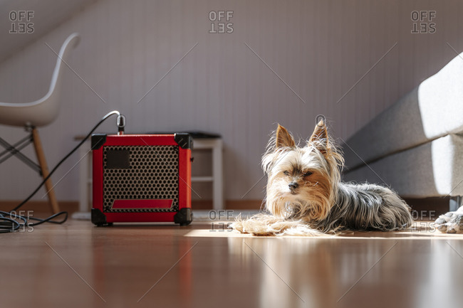 Yorkshire Terrier lying by amplifier on hardwood floor at home