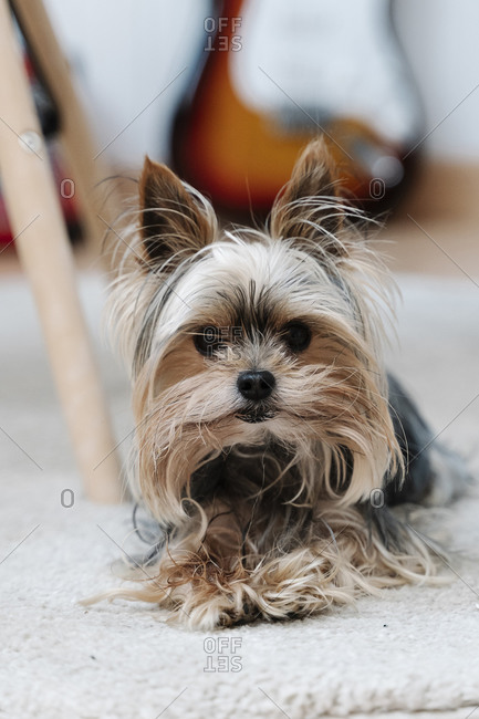 Yorkshire Terrier lying on rug at home