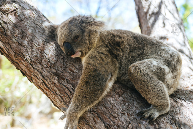 Close-up of koala sleeping on tree trunk at Magnetic island- Queensland- Australia