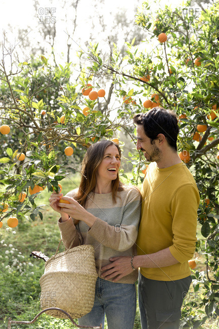 Cheerful couple picking organic oranges from tree in farm