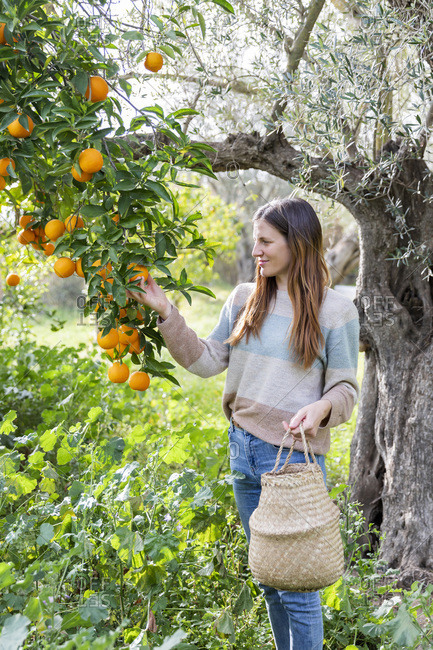 Woman picking oranges while standing in organic farm