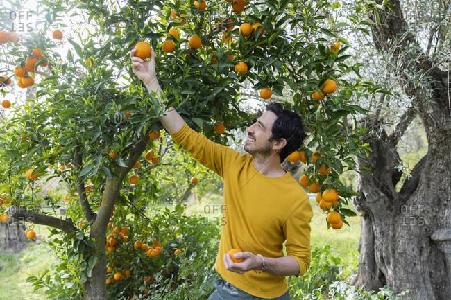 Smiling man picking oranges while standing in organic farm