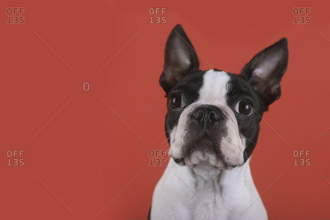 Portrait of Boston terrier puppy in front of red background