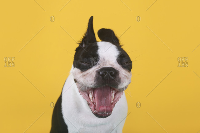 Portrait of Boston terrier puppy yawning in front of yellow background