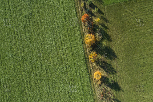 Germany- Bavaria- Drone view of row of Norway maples(Acerplatanoides)growing in green countryside field