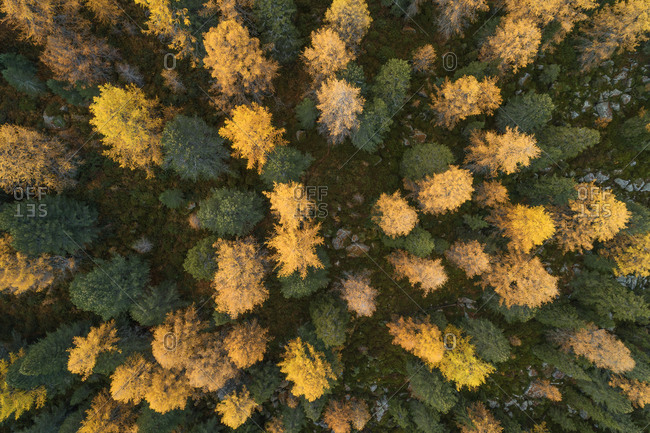 Drone view of larch forest in autumn
