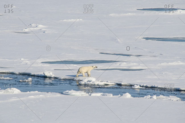 Lone polar bear (Ursus maritimus) traversing through snow in North Pole area