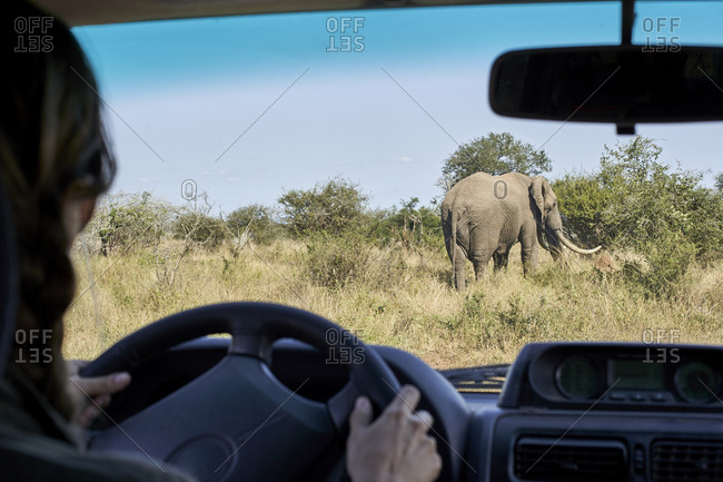 Cropped image of mid adult woman driving car at Kruger National Park- South Africa