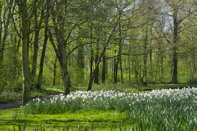 Germany- North Rhine-Westphalia- Lunen- Bed of poet's daffodils (Narcissus poeticus) in Park Schwansbell