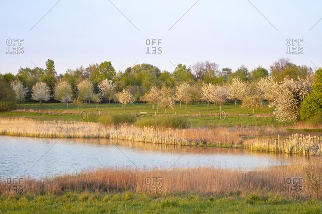 Germany- North Rhine-Westphalia- Dortmund- Reeds growing along shore ofLanstroper See in spring