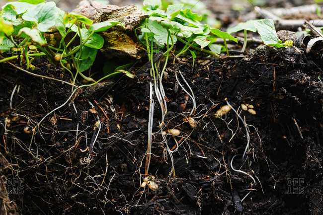 Close-up of pants roots in soil