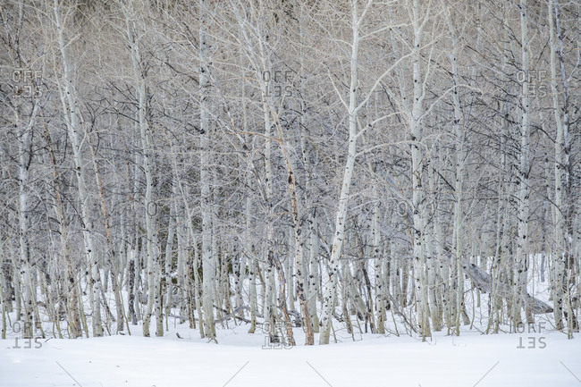 USA, Idaho, Sun Valley, Aspen forest in winter in Sawtooth National Forest