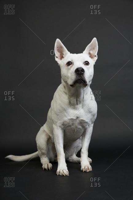 White pit bull terrier on black background