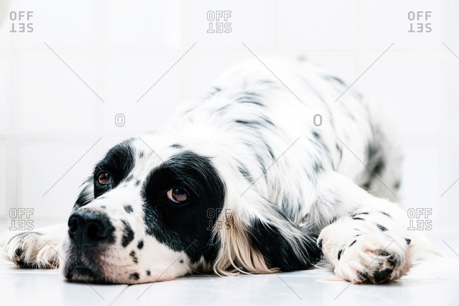 Calm black and white spotted English setter looking away with interest while lying alone on tiled floor against blurred light wall at home