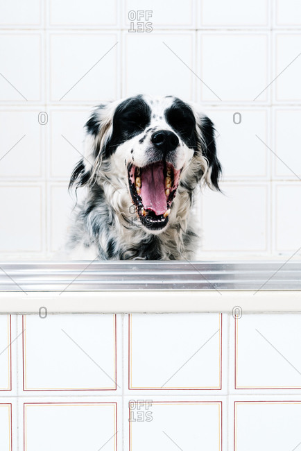 Calm black and white spotted English setter looking at camera with interest while yawning seated alone on light bathroom