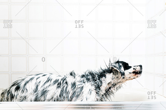 Calm black and white spotted English setter while drying up alone on the bathroom