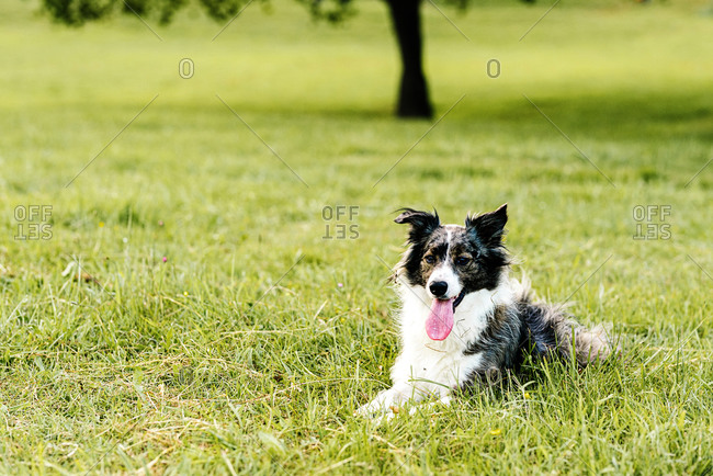 Curious adult dog looking away with interest while resting along lawn with fresh lush grass and small wildflowers on hill slope against blurred trees in summer day