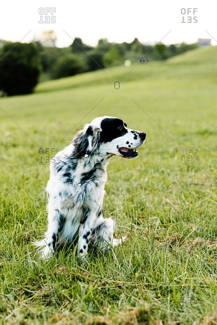 Curious adult English setter dog looking away with interest while resting along lawn with fresh lush grass and small wildflowers on hill slope against blurred trees in summer day