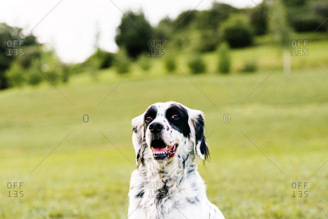 Curious adult English setter dog looking at camera with interest while resting along lawn with fresh lush grass and small wildflowers on hill slope against blurred trees in summer day