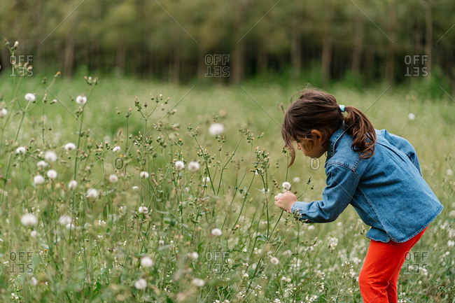 Side view of curious kid in casual clothes picking dandelions while enjoying weekend on green field
