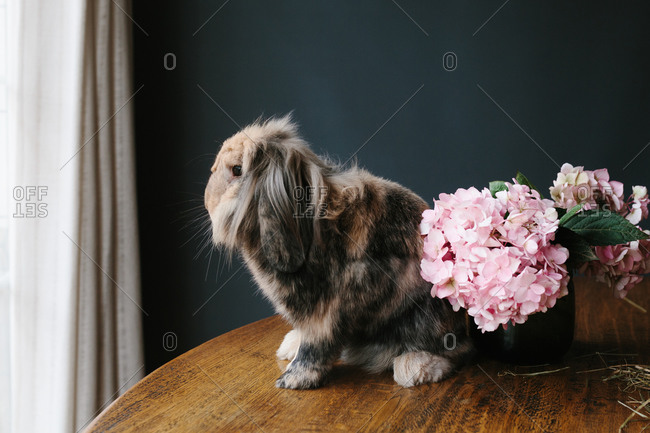 Domestic lop rabbit with thick fur sitting on wooden table with fresh flowers in modern room and looking at camera