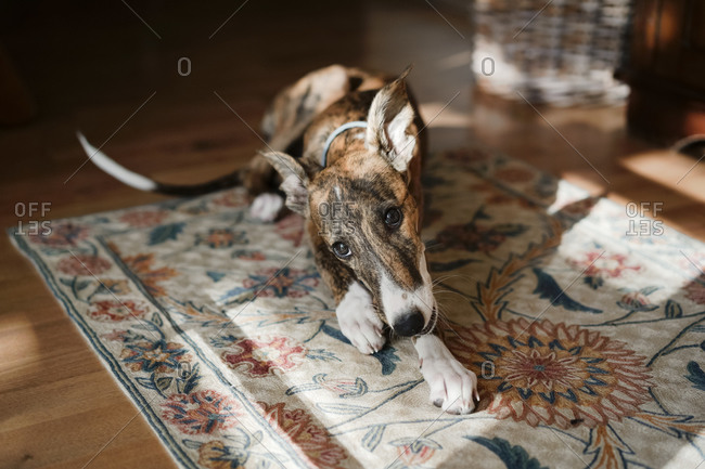 Cute white and brown Spanish Galgo dog lying on floor in cozy apartment and looking at camera
