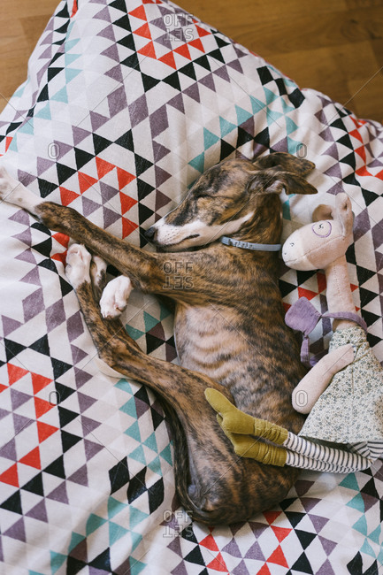 Top view of calm Spanish sighthound dog lying on soft cushion with plush toy and sleeping during daytime in flat