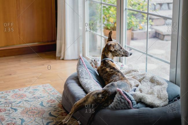 Spanish sighthound dog on carpet at home