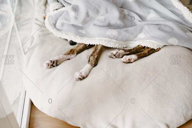 High angle of adorable dog lying on comfortable bed and relaxing under soft blanket