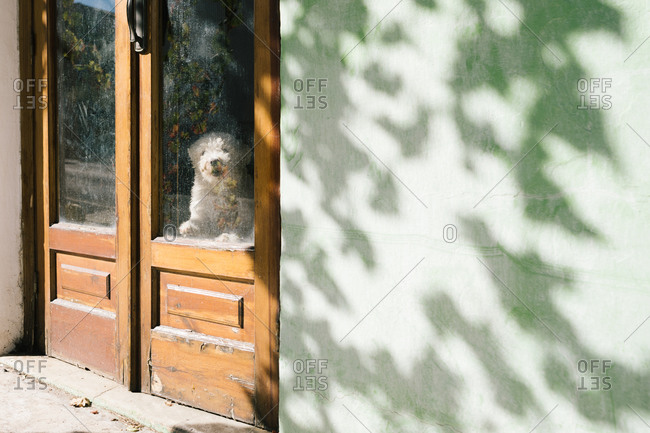 White Spanish water dog leaning on glass door of old building and observing street on sunny day