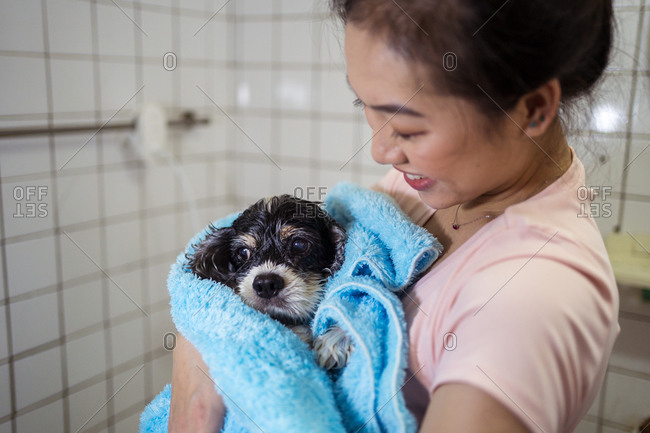 Cute wet Cocker Spaniel puppy dog wrapped in blue towel and held by smiling Asian female owner after bathing in home bathroom
