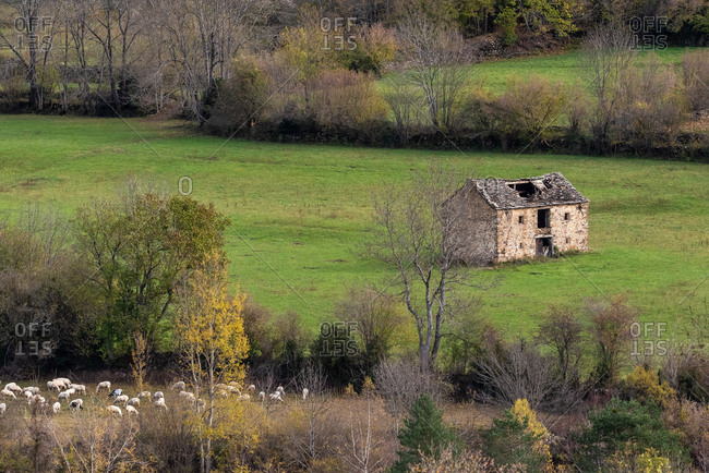 Destructed abandoned cottage located in green field near pasture with flock of grazing sheep on autumn day in countryside